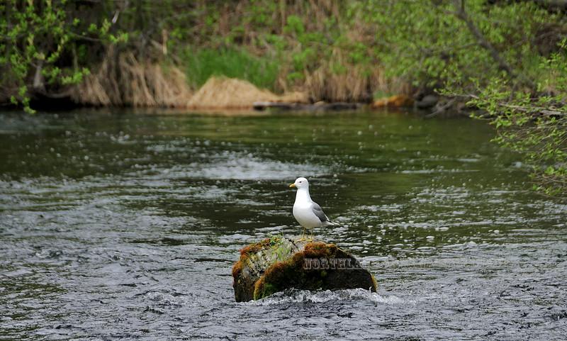 Gull, Mew 2008.6.5#4. Davy's Creek, Kenai Peninsula, Alaska.