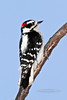 Woodpecker, Downey 2011.12.23#076. Anchorage Alaska.