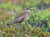 Whimbrel 2014.6.23#167. One of a pair of breeding birds on spring tundra. Mile 15, Denali Highway Alaska.
