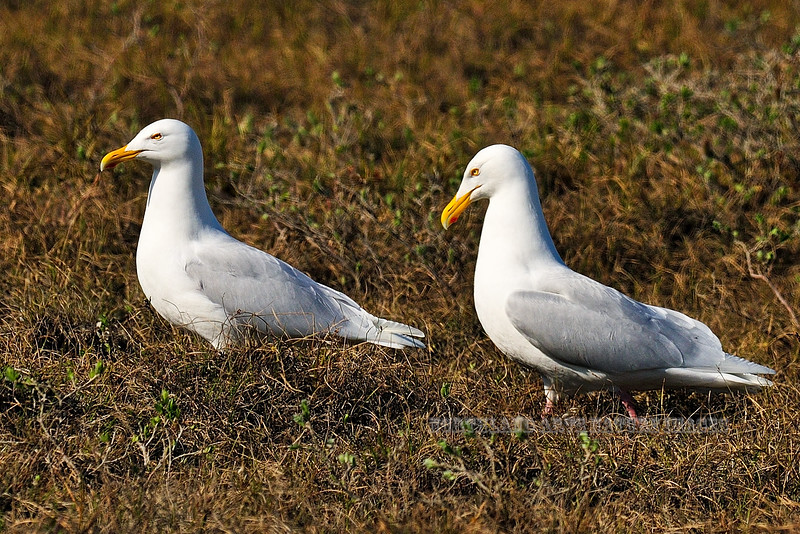 Gull, Glaucous 2009.6.11#092. Coastal Plain of the North Slope Alaska.