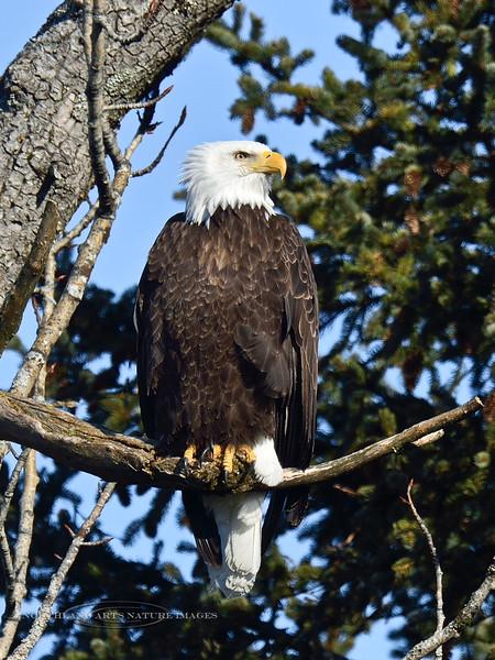Eagle, Bald 2014.4.9#574. Fourth of July Creek, Seward Alaska.