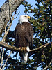Eagle, Bald 2014.4.9#574. Fourth of July Creek, Seward Alaska.