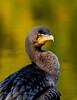 A Double Crested Cormorant. Anchorage Alaska. A transient  bird that spent a few days feeding on stocked trout in a local lake. #921.249. 2x3 ratio format.