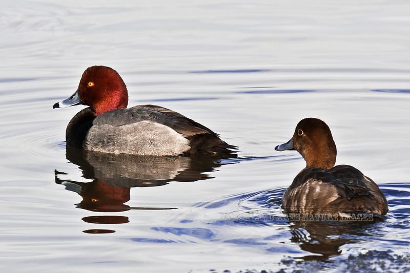 Redhead Ducks 2012.4.13#055. Spenard Crossing, Anchorage Alaska.