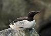 ALCIDS-Murre, Common 2011.4.30#056.3. In breeding color. Sea Life Center, Seward,, Alaska.