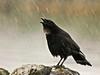 Crow, Northwest. 2006.4.25#0140.4. Seward,Alaska.