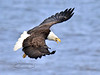 Bald Eagle hunting along the beach of Cook Inlet. Kenia peninsula,Alaska. #514.863. 3x4 ratio format.