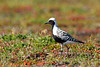 Plover, Black-bellied 2015.6.22#675. Along the road to Wooly Lagoon, Seward Peninsula Alaska.