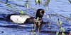 A Lesser Scaup on a rest stop at a tundra pond in the nelchina basin Alaska. #620.247. 1x2 ratio format.