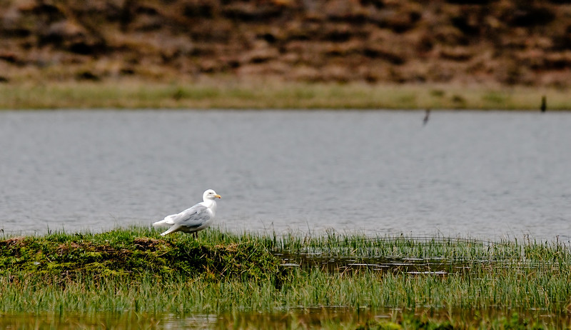 Gull, Glaucous 2009.6.10#092. Galbraith Lake, Brooks Range Alaska.