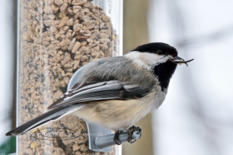 Chickadee, Black-capped 2014.3.10#074. An example of one with the deformed bill. Anchorage, Alaska.
