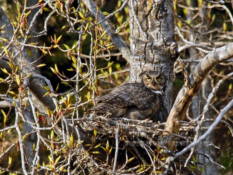 Owl, Great Horned 2007.5.15#0407. Potter Marsh, Anchorage Alaska.