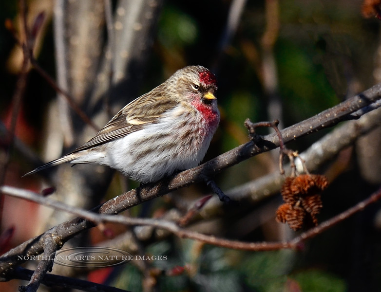 Redpoll, Common 2013.3.13#253. Seward Alaska.