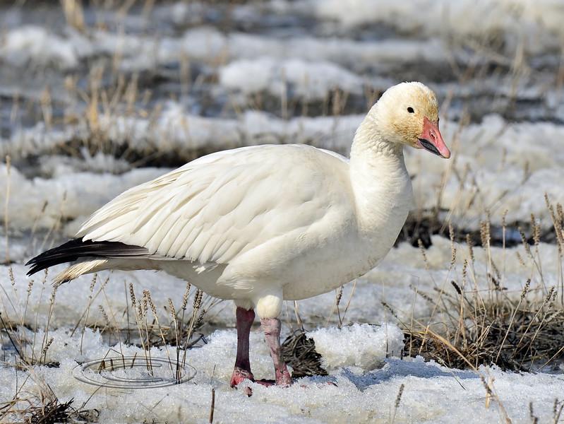 Goose, Snow 2013.4.29#997. Cook Inlet near Potter Marsh Alaska.