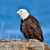Eagle, Bald 2014.4.21#146. Preening on a beach log. Homer Spit Alaska.