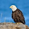 Eagle, Bald 2014.4.21#146. Preening on a beach log. Homer Spit Alaska.
