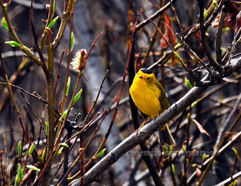 Warbler, Wilson's 2010.5.22#261. Paxson, Alaska.