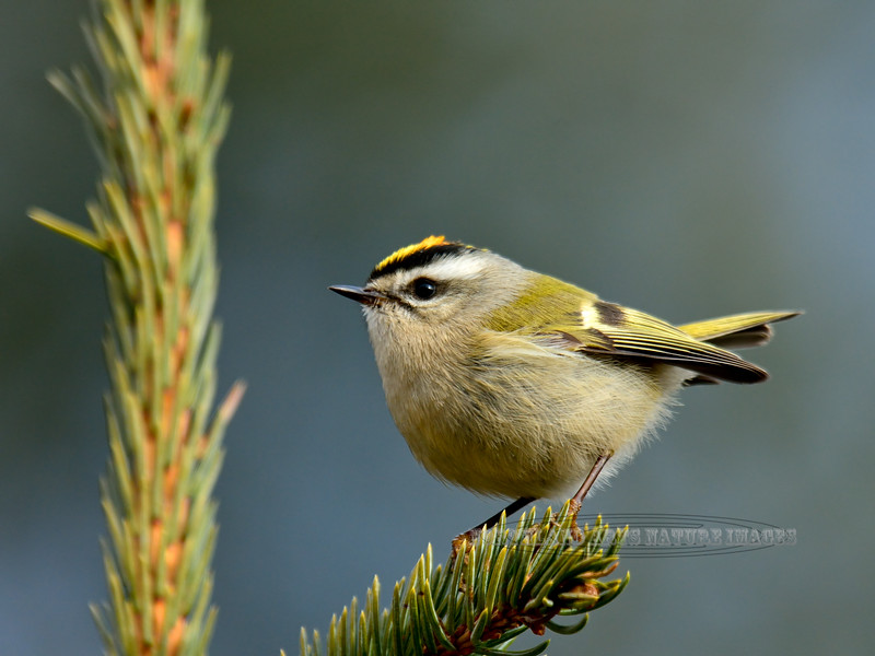Kinglet, Golden-crowned 2015.5.14#062. Upper Abbott road, Anchorage hillside Alaska.
