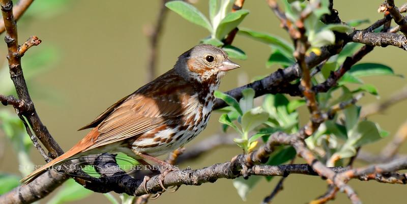Sparrow, Taiga Fox 2013.6.21#207. Mile 11, Denali Highway Alaska.