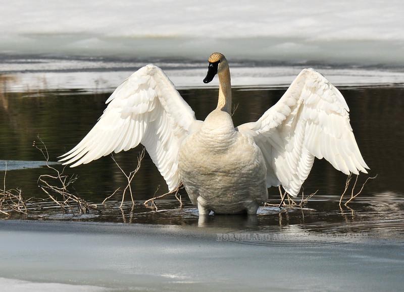 Swan, Trumpeter 2009.4.28#378. Near the H&H Cafe, Parks Highway Alaska.