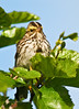 Sparrow, Savannah 2006.7.11#0277. A male in breeding plumage. Turnagain Pass, Kenai Peninsula Alaska.