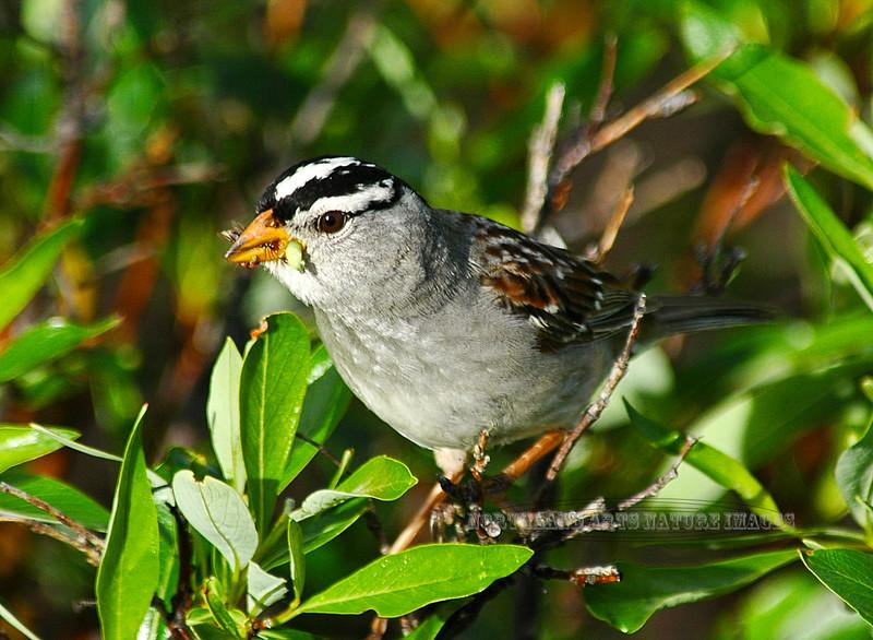 Sparrow, White Crowned 2006.7.3#0307. Near Paxson Alaska.