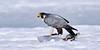Falcon, Peregrine 2013.4.26#164. A lucky encounter, finding this bird just as takes down a Gull. Spenard Crossing, Anchorage Alaska.