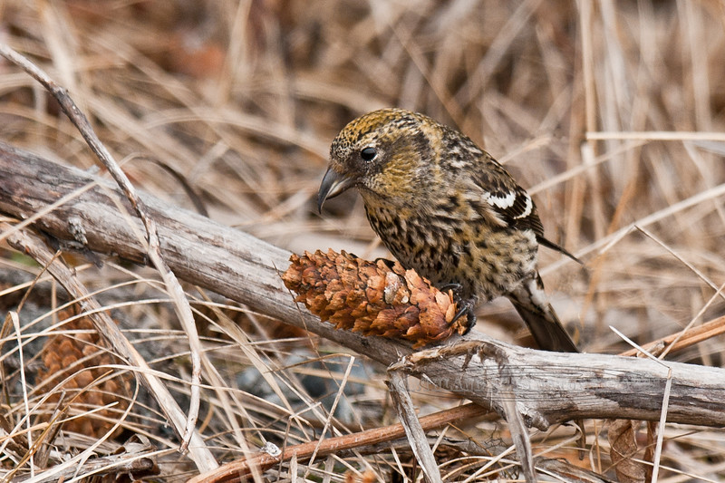 Crossbill, White-winged. A female working on a Sitka spruce cone. Kenai, Alaska. #44.149, 2x3 ratio format.