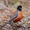 Robin, American 2015.5.7#203. Kinkaid Park, Anchorage Alaska.