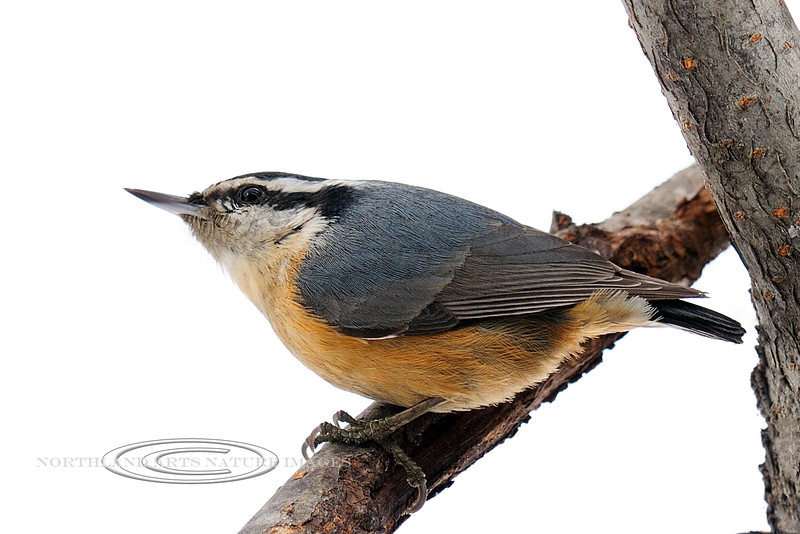 Nuthatch, Red-breasted 2012.3.19#101. Highgate Circle, Anchorage Alaska.