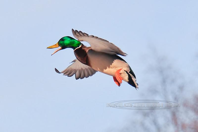 Mallard Duck 2008.3.26#023. A drake in vibrant breeding plumage takes flight. Spenard Crossing, Anchorage Alaska.