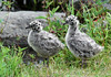 Gull, Mew 2005.6.19#020. Mew Gull chicks about half grown. Potter Marsh, near Anchorage Alaska.
