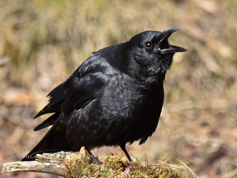 Crow, Northwest 2013.5.14#799. Cook Inlet, near Anchor River Alaska.