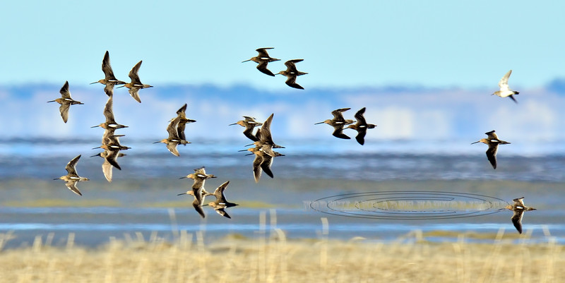 Dowitcher, Short-billed 2013.5.19#129. Doing a fly about after a Northern Harrier scare. Cook Inlet Alaska.