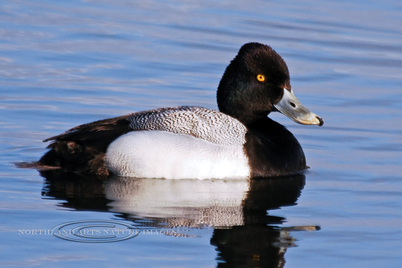 Scaup, Lesser 2006.5.19#0373. A drake rests on a tundra pond. Potter marsh, Anchorage Alaska.