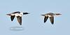 Merganser, Common 2013.5.10#045. A pair flying over Cook Inlet Alaska.