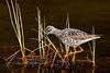 Yellowlegs, Greater 2013.5.13#140. Searching for sticklebacks. Tern Lake, Kenia Peninsula Alaska.