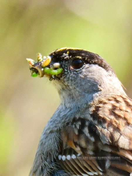 Sparrow, Golden-crowned 2014.6.4#187. With a mixed bag of moth caterpillars. Turnagain Pass, Alaska.