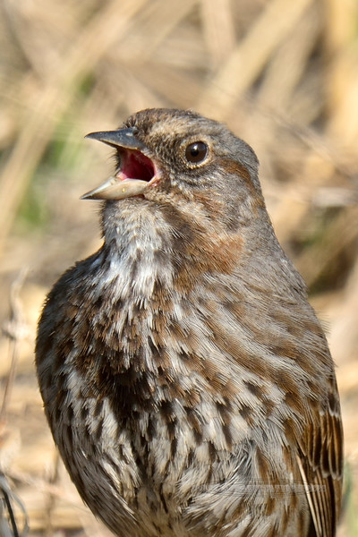 Sparrow, Kenai Song 2014.4.21#323. A singing bird in it's nesting area. Homer Spit, Alaska.