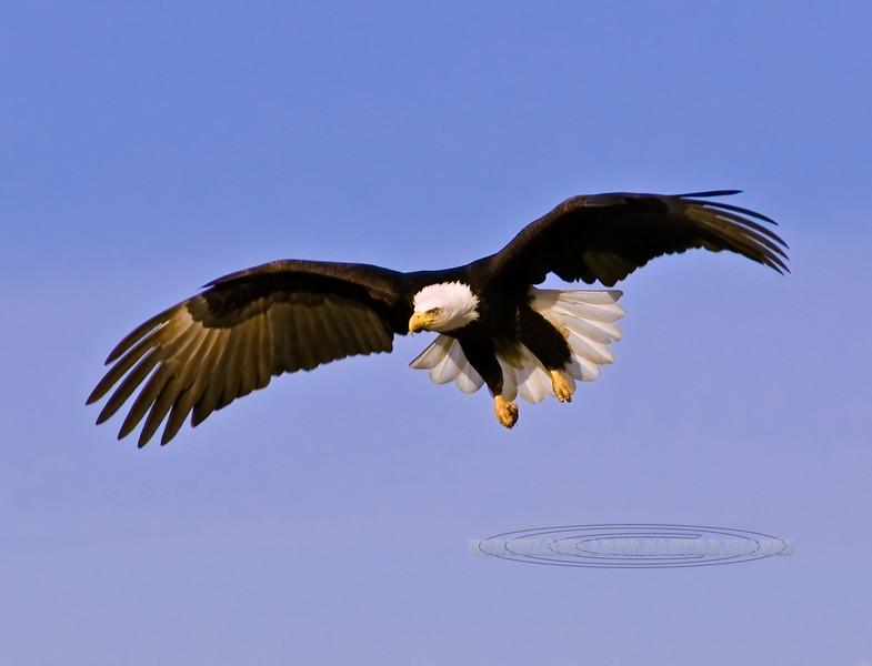 Eagle, Bald 2009.3.7#154. Homer Alaska.