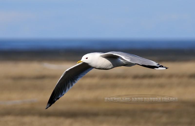 Gull, Mew 2008.5.16#3. Cook Inlet near Potter Marsh, Alaska.