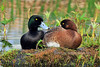 Scaup, Greater 2009.5.29#082. A pair of breeding birds taking a mid day rest. Potter Marsh, Anchorage Alaska.