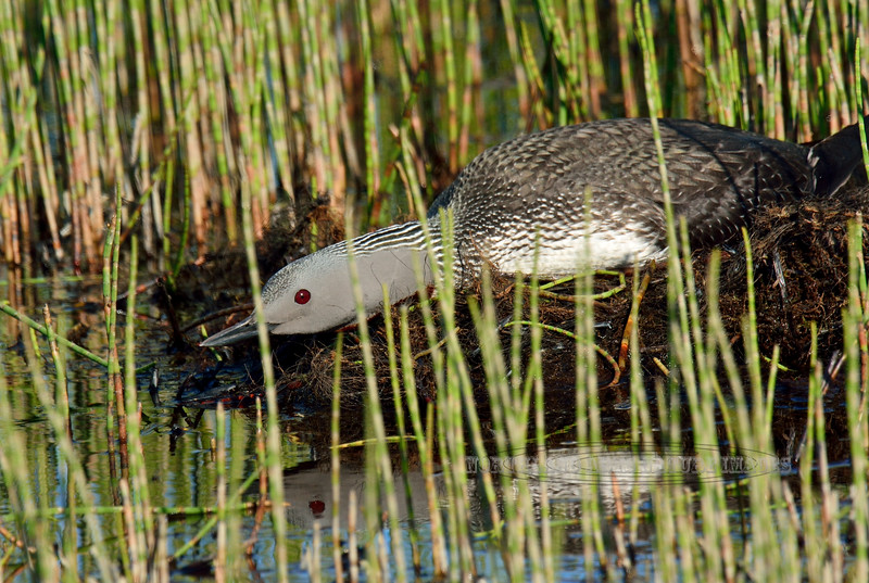 Loon, Red-throated 2015.6.21#194. Svanberg Dredge Pond, Nome Alaska.