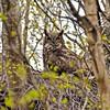 Owl, Great Horned 2015.5.7#229. Kincaid Park, Anchorage Alaska.