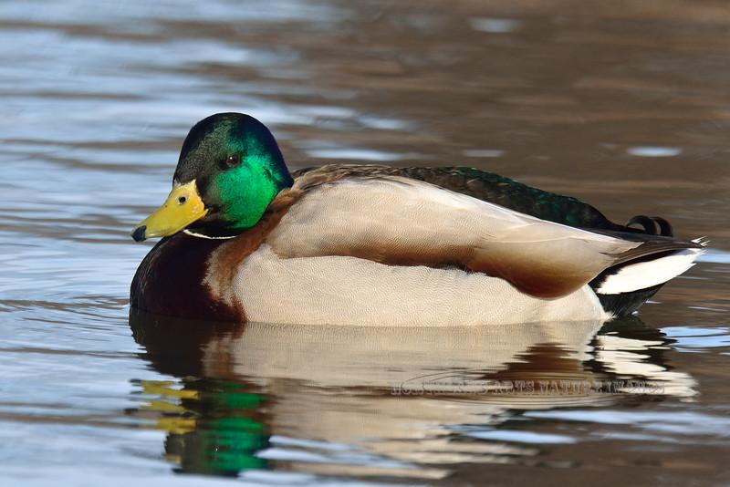 Mallard Duck 2014.4.19#222. Spenard Crossing, Anchorage Alaska.