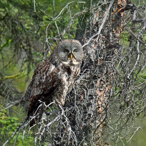 Owl, Great Gray 2015.6.8#964. Tolsona, Nelchina Basin Alaska.