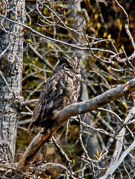 Owl, Great Horned 2007.5.14#0044. Potter Marsh, Anchorage Alaska.