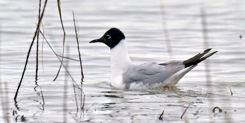 Gull, Bonaparte's 2013.5.26#258. In breeding plumage. Cook Inlet adjacent to Westchester Lagoon, Anchorage Alaska.