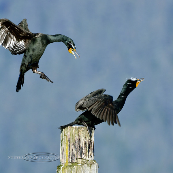 Cormorant, Double-crested 2014.10.29#1049. Seward Alaska.