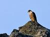 Falcon, Peregrine 2012.7.9#069. Arctic, Alaska.